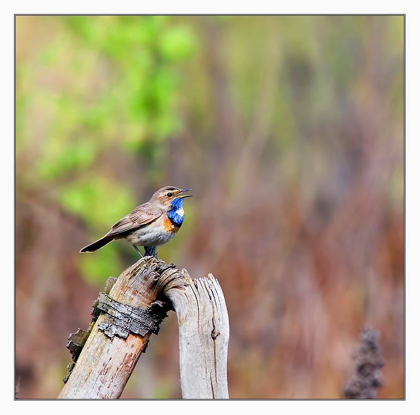 The Bluethroat (Luscinia svecica)