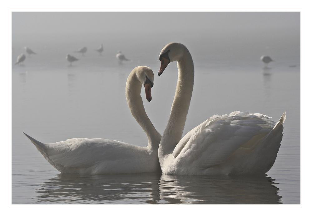 The Bonny Swans....