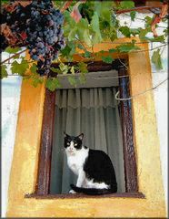 The cat and the grapes