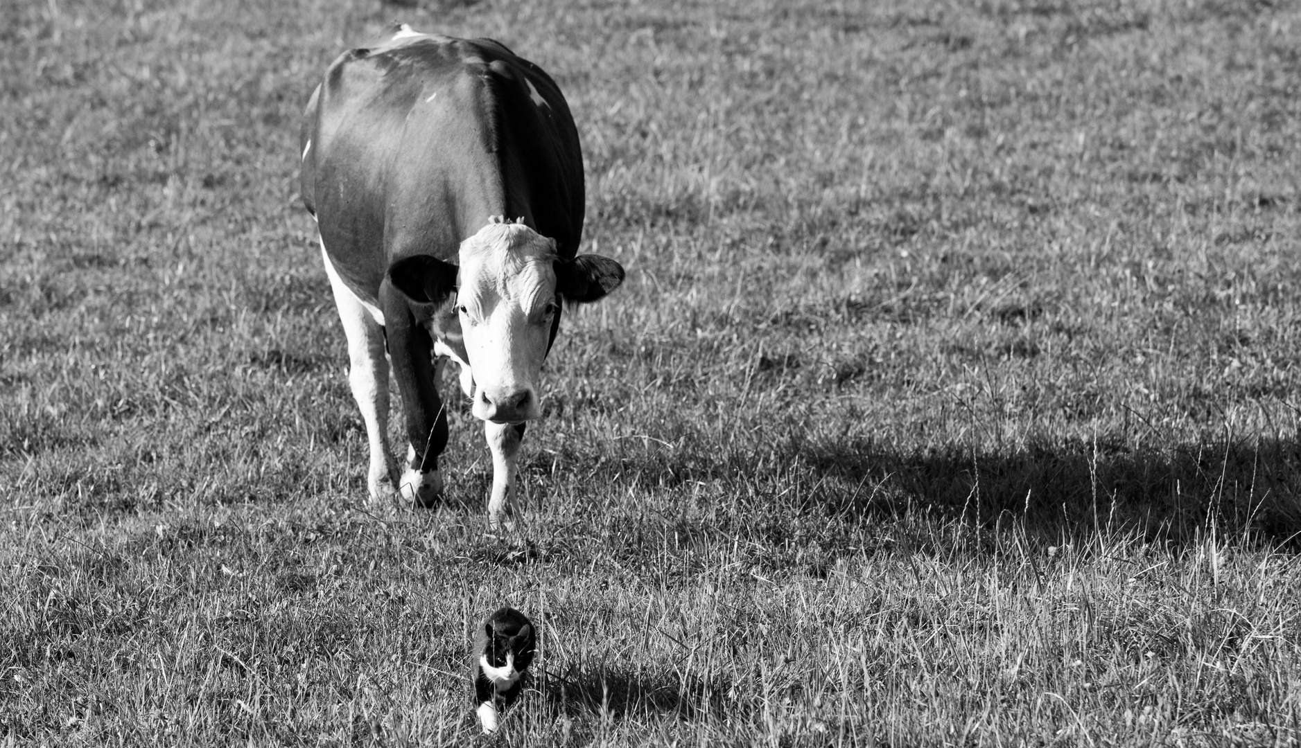 the cat & the cow