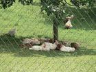 The Chicken Gang