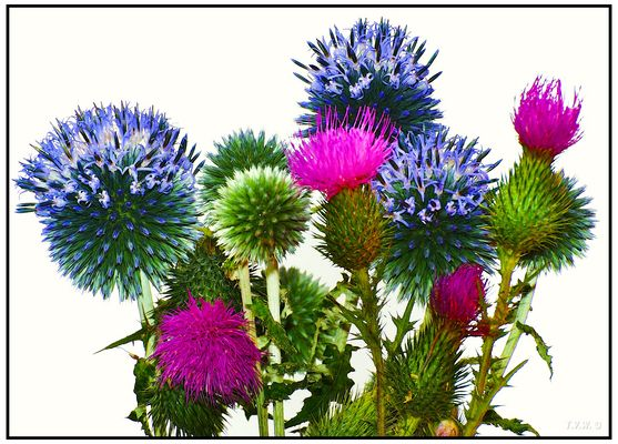 The colorful blooms of the teasel