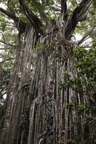 the curtain fig-tree