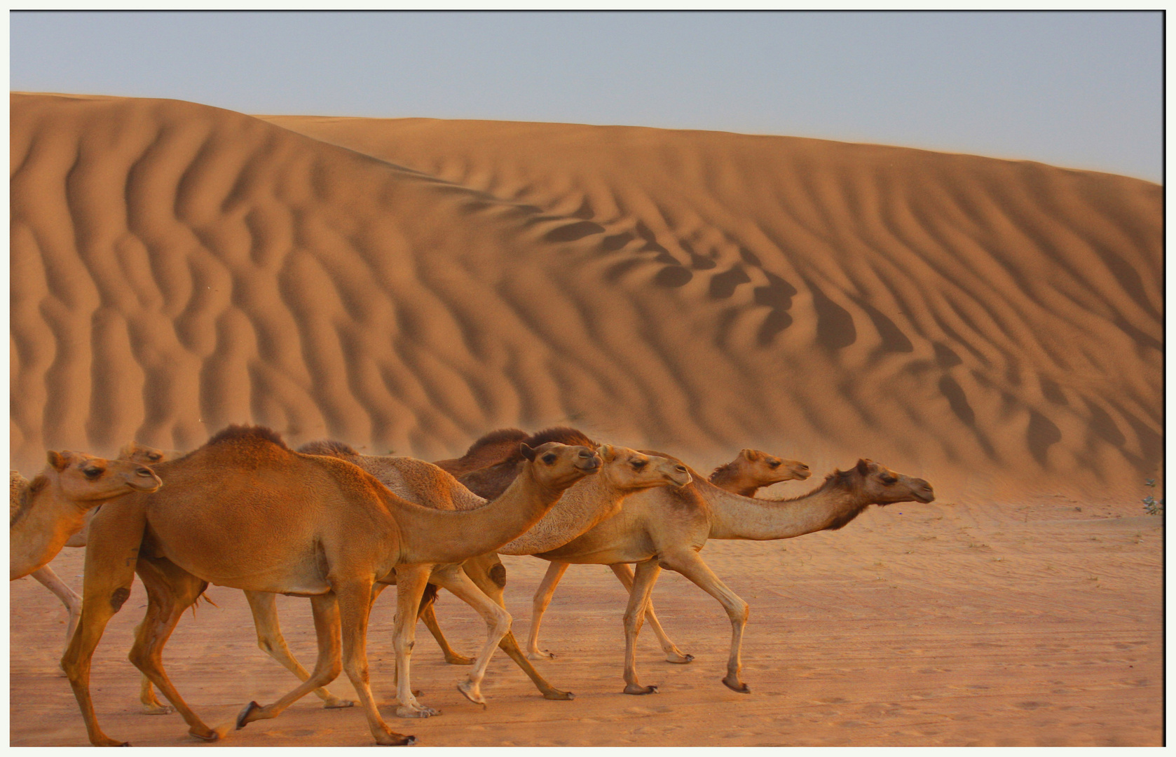 The Desert's Caravan of Dubai