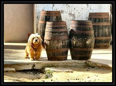 The dog that loves wine :-)))))