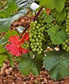 The essence of Burgundy