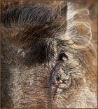 the eye of a warthog