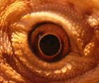 The Eye of the Reptile