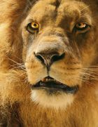 The eyes of a lion