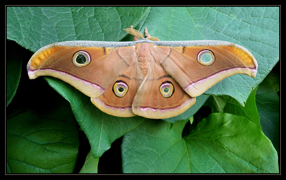 the eyes of antheraea