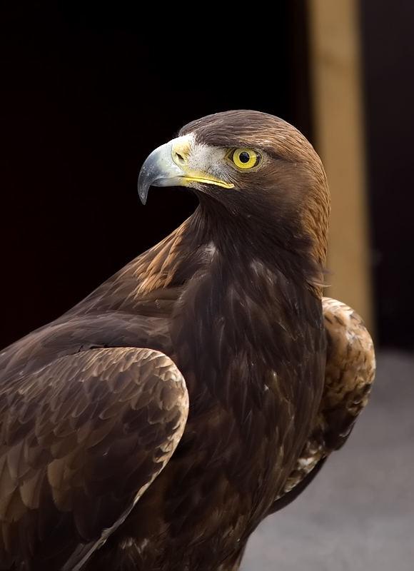 The Falcon King
