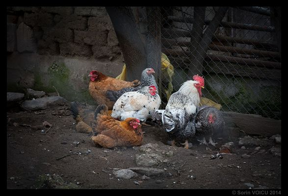 The Family of Chickens