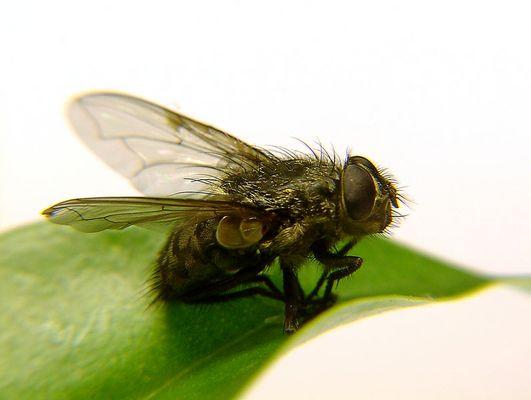 The Fly I