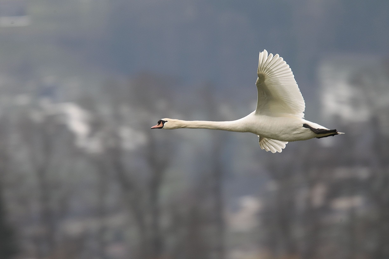 The flying swan