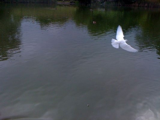 The flying white pigeon