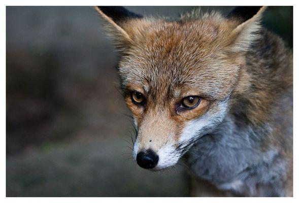 ~THE FOX~