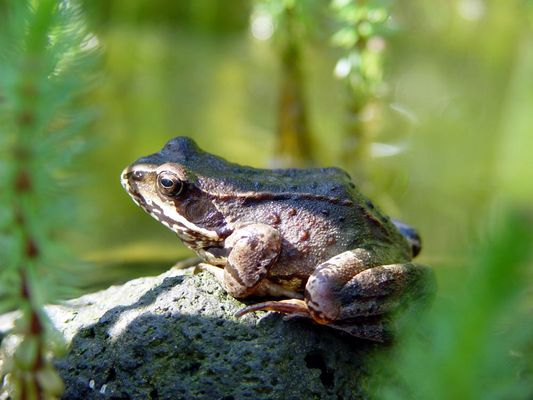 The frog in my pond