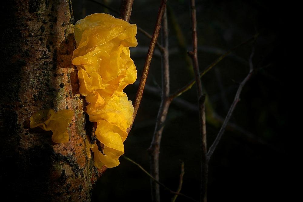 The Fungi world (112) : Yellow Brain fungus