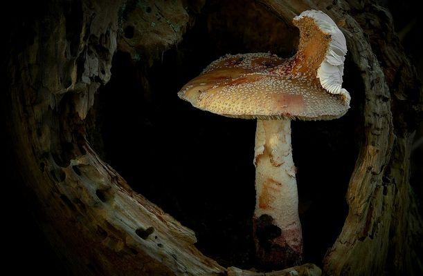 The Fungi World (191) : Blusher