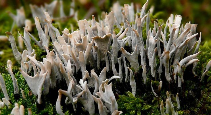 The Fungi World (251) : Candlesnuff fungi