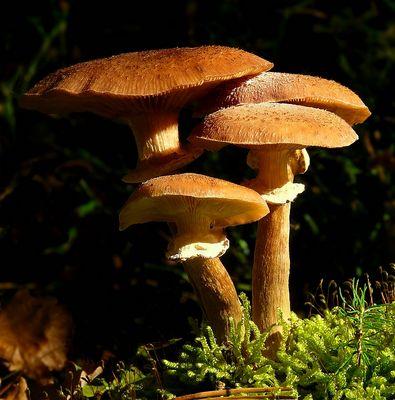 The Fungi World (253) : Honey Fungus