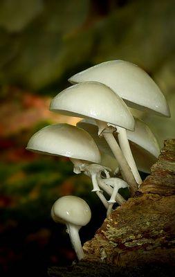 The Fungi World (260) : Porcelain fungus
