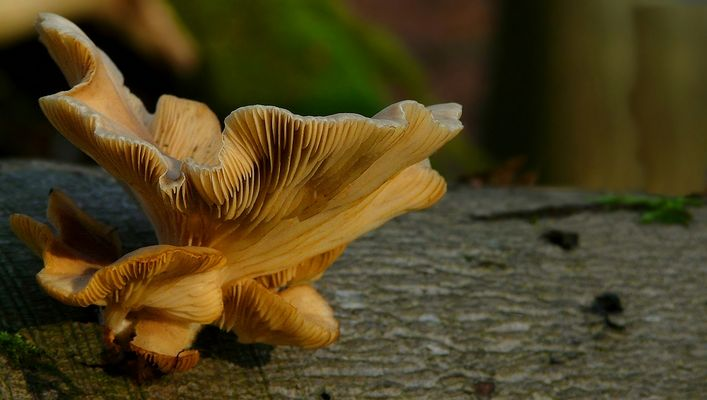 The Fungi World (261) : Branching Oyster