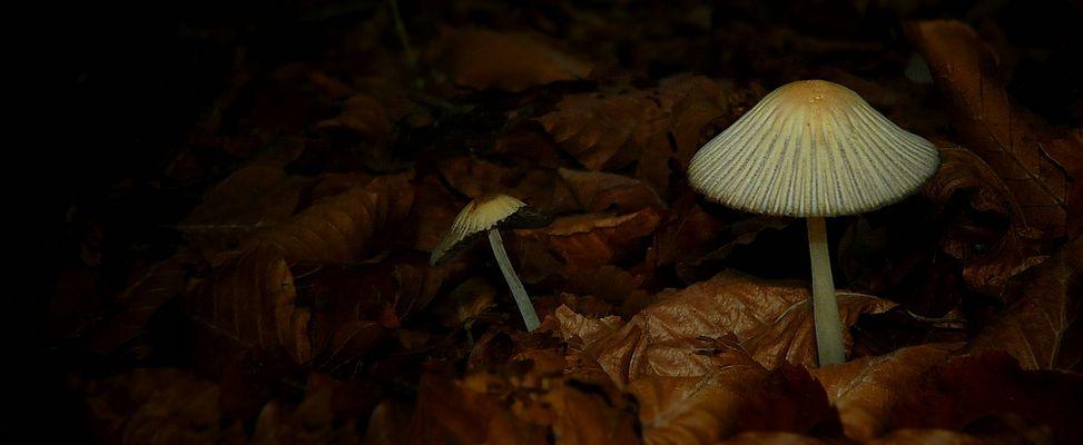 The Fungi World (266) : Coprinellus impatiens