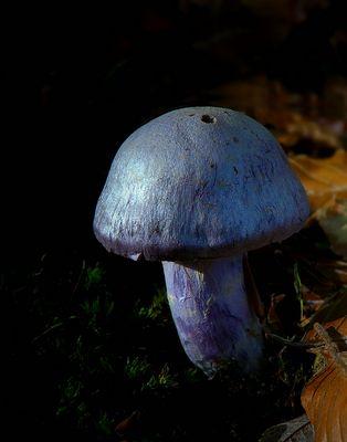 The Fungi World (269) : Goatcheese Webcap