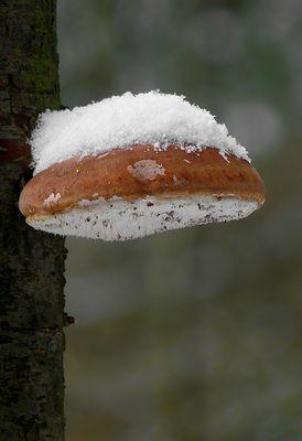 The Fungi World (273) : Donut Fungus