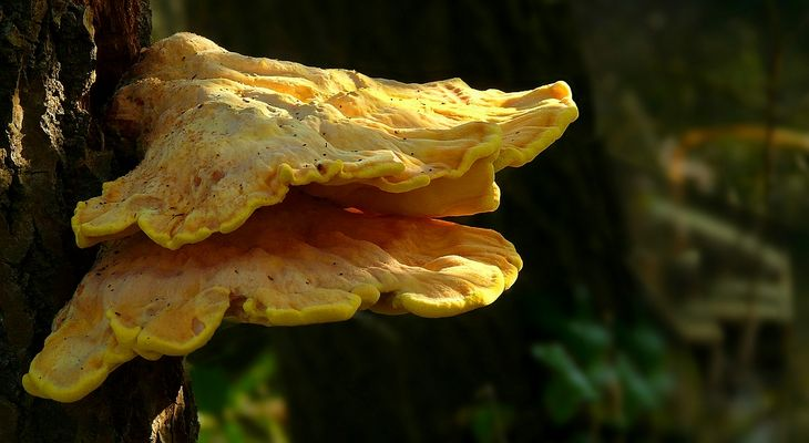 The Fungi World (274) : Chicken of the Woods