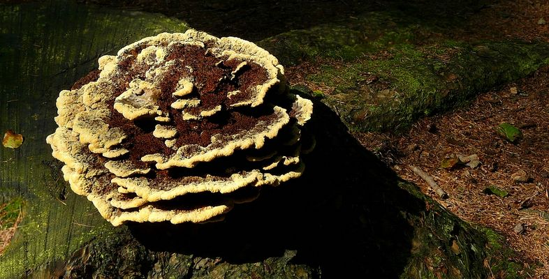 The Fungi World (278) : Dyer's Mazegill