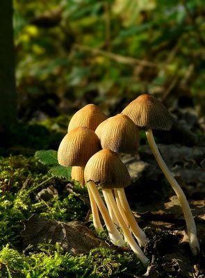 The Fungi World (280) : Glistening Inkcap