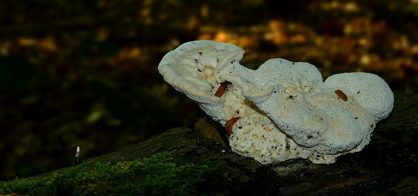 The Fungi World (282) : Greyling Bracket