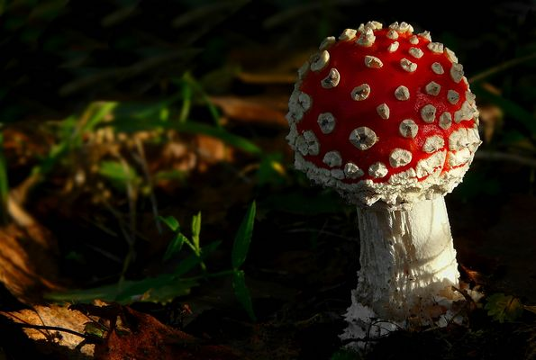 The Fungi World (286) : Fly Agaric