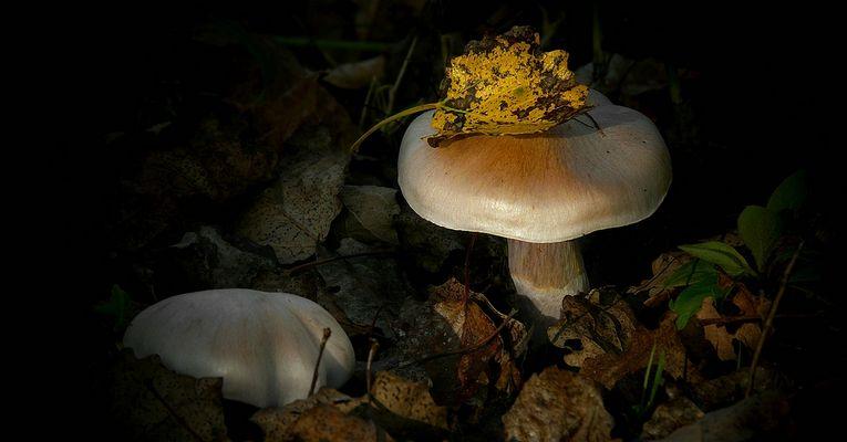 The Fungi World (289) : Cortinarius decoloratus