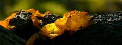 The Fungi World (294) : Yellow Brain fungus