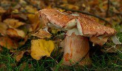 The Fungi World (295) : Blusher