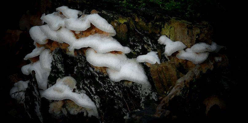 The Fungi world (310) : Jelly Rot