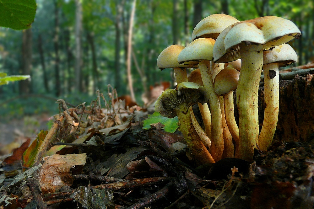 The Fungi World (79) : Sulphur Tuft
