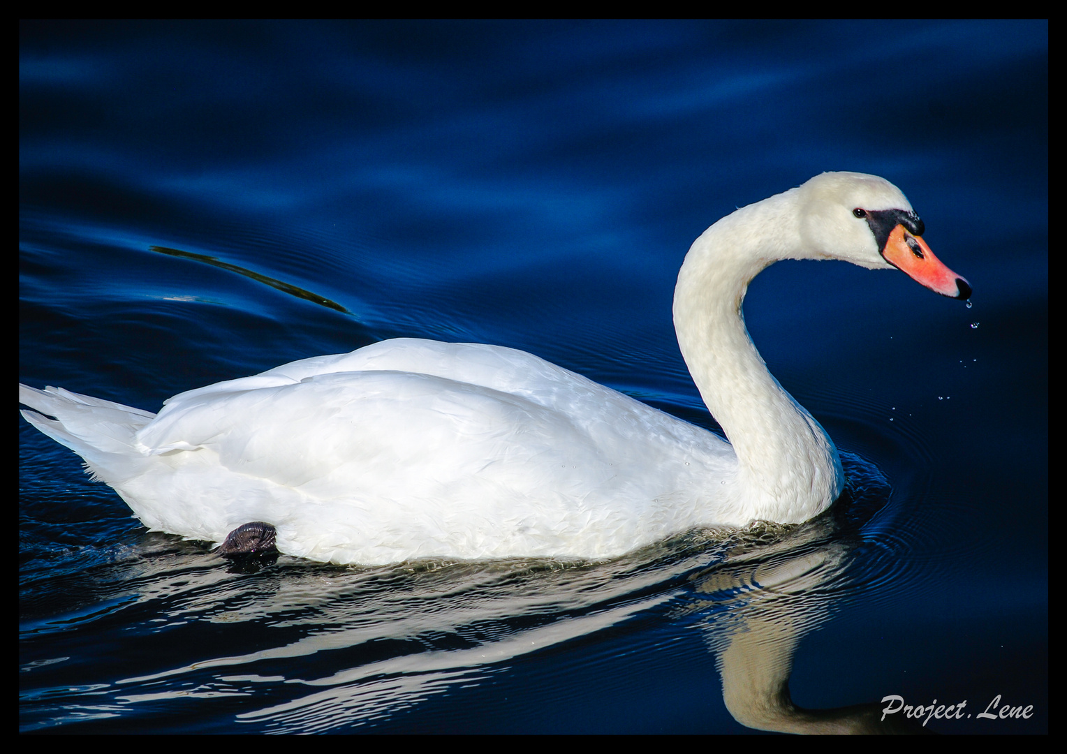 The graceful swan
