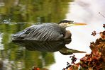 The Great Blue Heron (2)