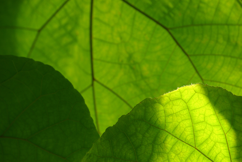 the green leaf in light