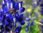 The honeybee loves blue