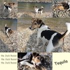 The Jack Russel - Tequila