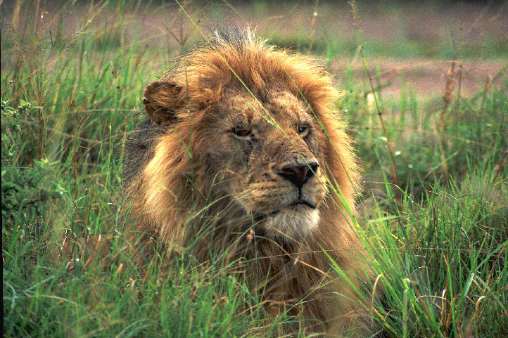 The King - Masai Mara, Kenya