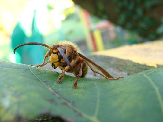 The Last Hornet