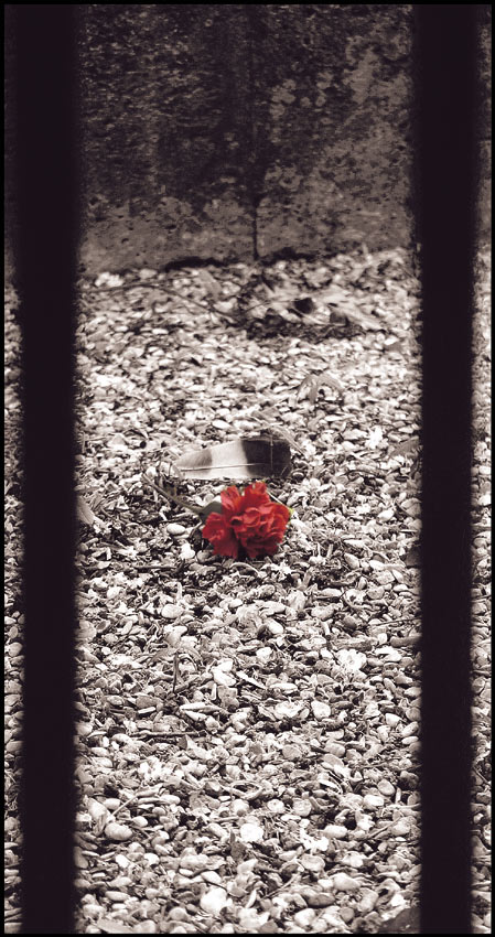 …the last rose…