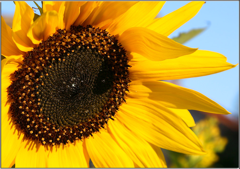 .......the last sunflower.......