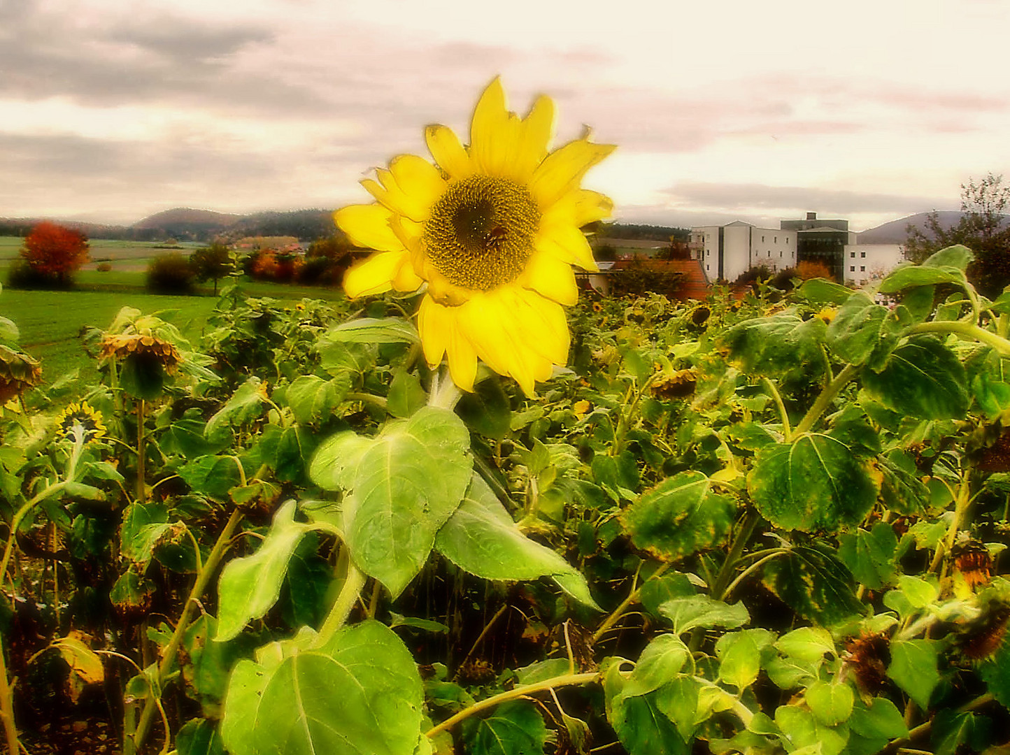 The last Sunflower